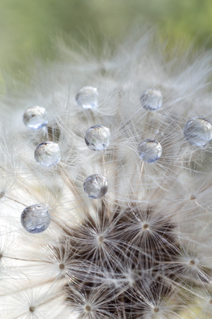 Dandelion with water drops close-up