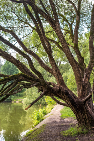 Magic willows in the summer evening in the izmaylovsky park in Moscow
