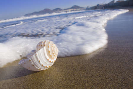Sea shell in the surf zone on Las Canteras beach on Gran Canaria. Stock Photo