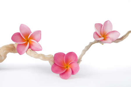 Three pink frangipani flowers on a twisted piece of driftwood.