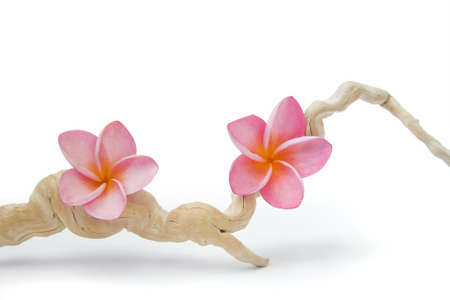 Two pink frangipani flowers on a twisted piece of driftwood.