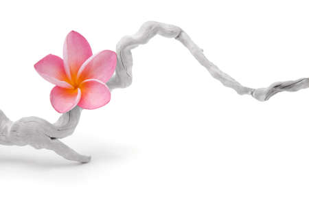 frangipani flower on a twisted piece of driftwood.