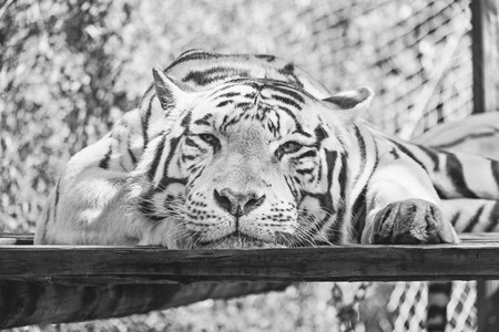 The white tiger or bleached tiger is a pigmentation variant of the Bengal tiger, which is reported in the wild from time to time in the Indian states of Assam, West Bengal and Bihar in the Sunderbans region and especially in the former State of Rewa. Such