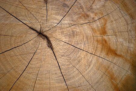 Crosscut section of oak tree