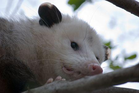 opossum: Common North American Opossum Stock Photo