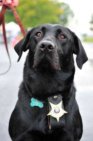 Canine police dog wearing badge Stok Fotoğraf