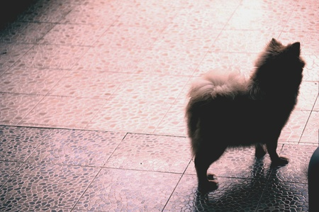 come home: A pomeranian waiting for its owner to come home