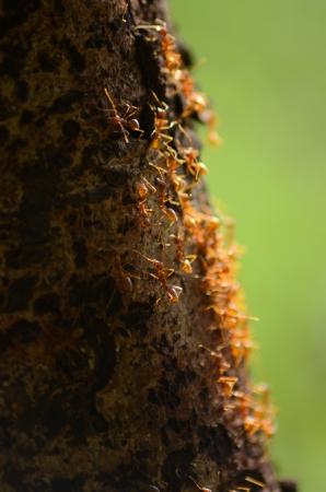 red ant: Una peque�a hormiga roja sociales en una corteza de �rbol.