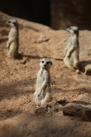 centralized: Centralized meerkat with his buddies with nice bokeh