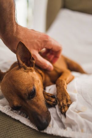 Close-up of a Mini Pinscher dog being petted by a young man's hand Archivio Fotografico - 147915948
