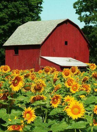 michigan: sunflower farm