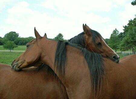 intertwined: two horses intertwined