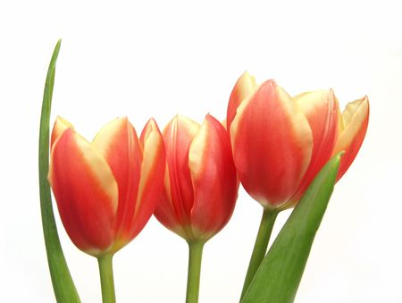 three spring tulips with leaves Stock Photo