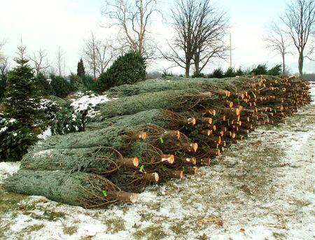 pile of Christmas trees Stock Photo
