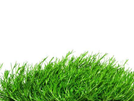 green Irish Moss, carrageen moss, chondrus crispus