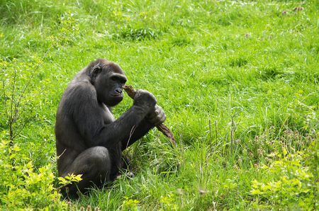 a gorilla chewing on a stick