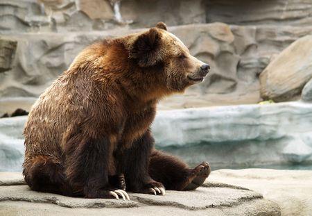 動物園での岩の上に座ってのグリズリー ・ ベアー