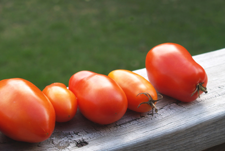 lycopene: garden fresh tomatoes ripening on rustic wood
