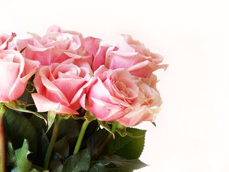 pink roses isolated on white for Valentines Day