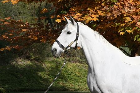 white stallion horse