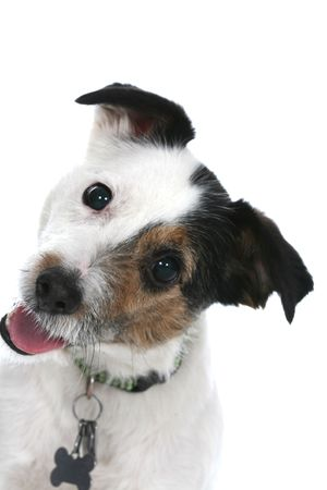 tilting: Jack Russell Terrier with his head cocked off to one side Stock Photo