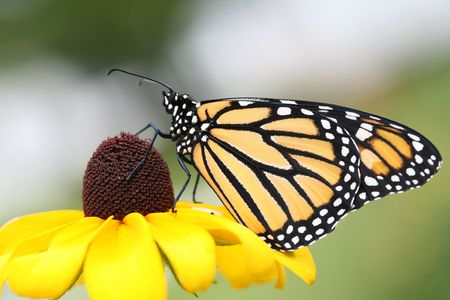 brown  eyed: Monarch butterfly sipping nectar from a Brown Eyed Susan flower. Stock Photo