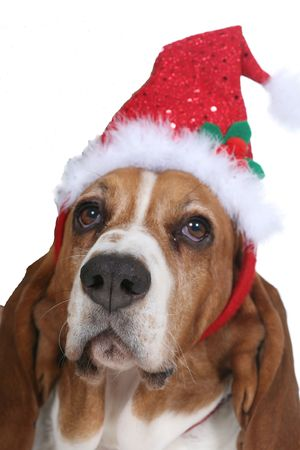 Basset Hound dog wearing a Santa hat for the holidays. photo