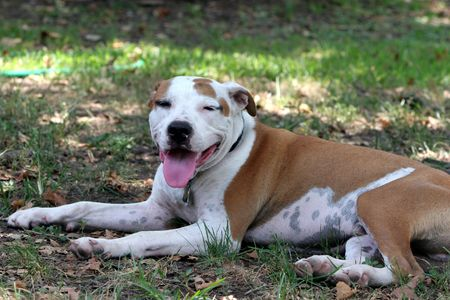 Brown and white pit bull terrier laying on the grass with its tongue hanging out. Stock Photo