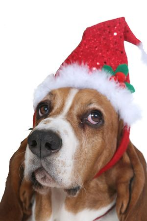 Basset hound dog wearing a red and green santa hat and looking unimpressed by it photo