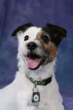 eager: Cute Jack Russell Terrier dog with mouth open and eager look on his face. Stock Photo