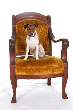 sit: Jack Russell Terrier sitting in a large, gold arm chair. Stock Photo