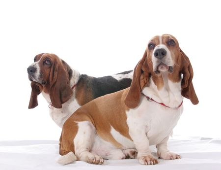 Two basset hound dogs together on a white background. photo