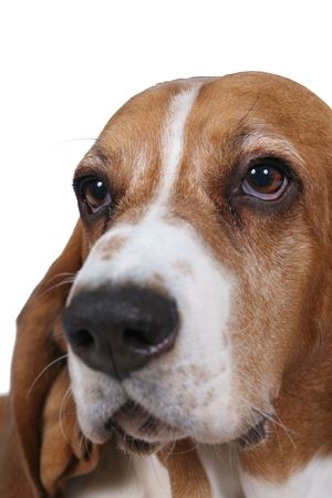 face close up: Basset hound dog face close up