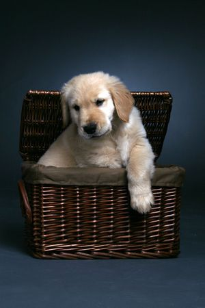 Cute golden retriever puppy coming out of a wicker basket.