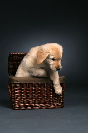 Cute golden retriever puppy crawling out of a wicker basket. photo