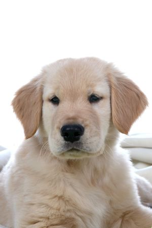Goden Retriever Puppys head and chest. photo