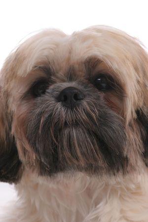 primer plano cara: Cute perro shitzu la cara de cerca.  Foto de archivo
