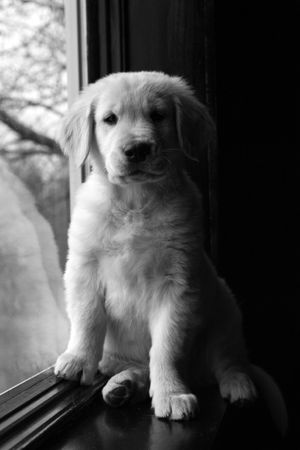 golden: black and white golden retriever puppy on a windowsill