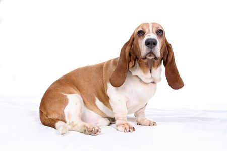basset hound dog on high key background Stock Photo - 3333708