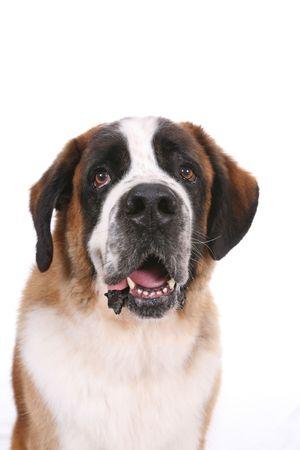 セント ・ バーナード犬の頭と胸