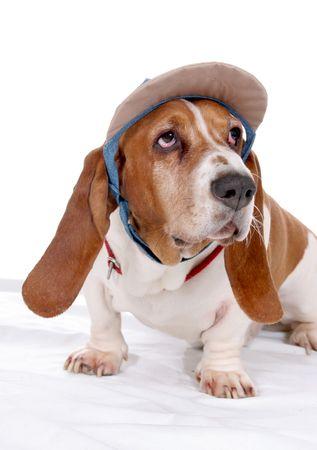 basset hound in visor hat photo