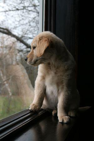sill: golden retriever puppy sitting in the window