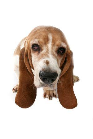 hounds: basset hound high key portrait taken from above