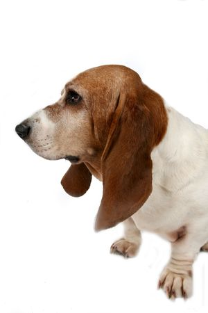 long nose: profile of a basset hound dogs big nose and long ears