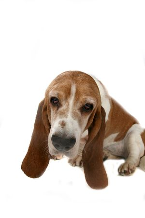 hounds: basset hounds head and long ears