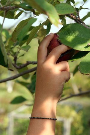 dappled: young childs sun dappled hand reaching up to pick an apple Stock Photo
