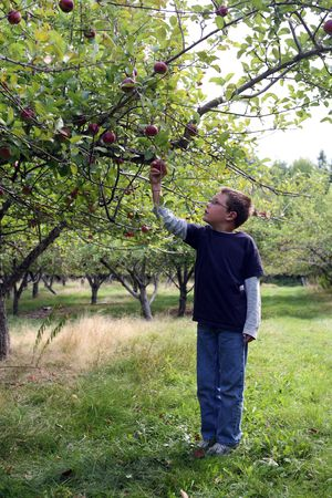 young boy in an apple orchard picking the fruit Stockfoto
