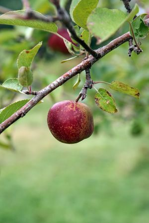 single red apple on branch with a shallow depth of field