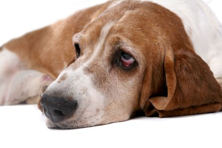 sad looking basset hound's face and nose