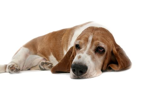 tan high key basset hound on its stomach  photo